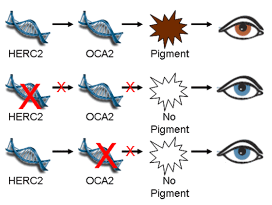 Genetische Vererbung – Augenfarbe – Eizellspende